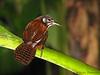 Bay Wren - Selva Verde