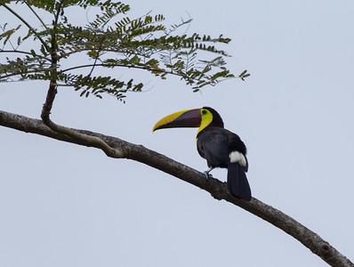 Toucan near Jaco