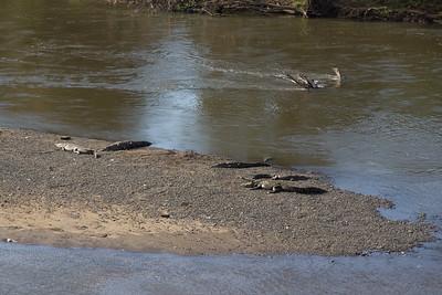 Crocodiles at the Rio Tarcoles