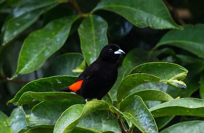 Scarlet-Rumped Tanager at Pino Colina