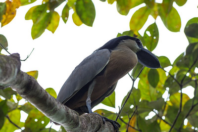 Boat-billed heron near the Rio Grande de Terraba
