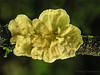 Polypore bracket fungus - Selva Verde
