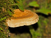Bracket fungus, Savegre Mountain Lodge