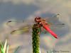 Cardinal Meadowhawk, Sympetrum illotum - Savegre