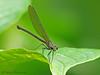 Damselfly - Selva Verde