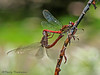 Dragonflies mating - Selva Verde