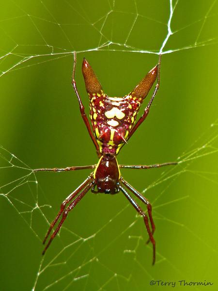 Arrow-shaped Micrathena - Micrathena sp.- Selva Verde