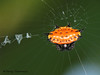Spiny-backed Orb-weaver - Gasteracantha cancriformis - Rancho Naturalista
