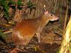 Central American Agouti - La Selva