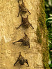 Long-nosed Bats - Selva Verde