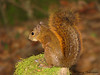 Red-tailed Squirrel - Savegre