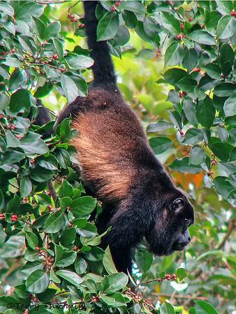 Costa Rican Mammals