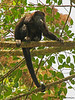 Mantled Howler Monkey - Selva Verde