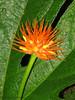 Flower - Selva Verde