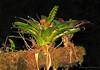 Bromeliad - Savegre