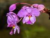 Unidentified orchid, Selva verde