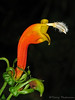 Parrothead - Centropogon solanifolius - Savegre