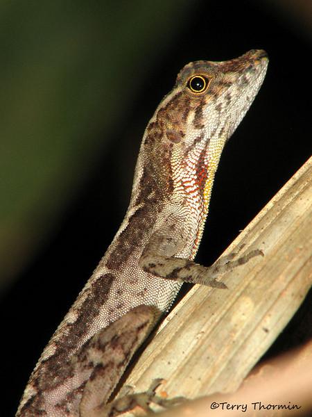 Anole lizard - Selva Verde