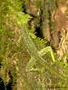 Green Basilisk - Selva Verde