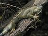 Green Iguana - Selva Verde