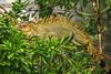 Green Iguana - La Selva