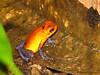 Blue Jeans Poison Dart Frog - Selva Verde