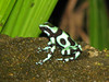 Green and Black Poison Dart Frog - Selva Verde