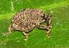 Weevil - Selva Verde