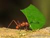 Leaf-cutter Ant - Selva Verde