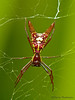 Arrow-shaped Micrathena - Micrathena sagittata - Selva Verde