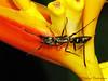 Ponerine ant, Pachycondyla villosa - Selva Verde