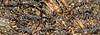 Army Ants, Eciton burchelii  - Rancho Naturalista