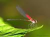 Damselfly, Hetaerina sp. - Selva Verde