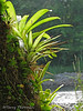 Bromeliads - Selva Verde
