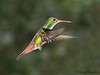 Rufous-tailed Hummingbird - Rancho Naturalista