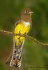 Black-throated Trogon female - Selva Verde