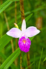 A closeup of the small purple flower of the bamboo orchid in Costa Rica, Central America.