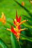 Orange Heliconia species flowers in Costa Rica, Central America.