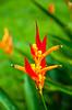 Orange Heliconia species flowers in Costa Rica, Central America.