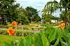 Cala lilies in a park in Costa Rica, Central America.