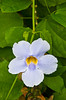 The blue trumpet vine morning glory flower in Costa Rica, Central America.