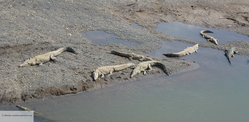 Crocs on the banks of the Río Tárcoles
