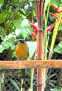 """Our Mascot - One of the BEAUTIFUL BoBo's (aka a MotMot) on our feeder.  Proof that you don't have to cage animals in to get them to want to be with you!!  Every morning I get up & if he's not already waiting for me, I call out """"Mr. BoBo, Bananas"""" & 95% of the time, within 2 minutes, he comes from wherever he is for his bananas!  Followed by about 10-15 other birds (unfortunately, also 4-5 squirrels also [aka """"Banditos"""" because they eat all the paharos/birds bananas!!) (photo THANX to Terrye Hoffman with www.PrairieSkiesTech.com)"""