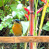 """Our Mascot - One of the BEAUTIFUL BoBo's (aka a MotMot) on our feeder.  Proof that you don't have to cage animals in to get them to want to be with you!!  Every morning I get up & if he's not already waiting for me, I call out """"Mr. BoBo, Bananas"""" & 95% of the time, within 2 minutes, he comes from wherever he is for his bananas!  Followed by about 10-15 other birds (unfortunately, also 4-5 squirrels also [aka """"Banditos"""" because they eat all the paharos/birds bananas!!)<br /> (photo THANX to Terrye Hoffman with  <a href=""""http://www.PrairieSkiesTech.com"""">http://www.PrairieSkiesTech.com</a>)"""