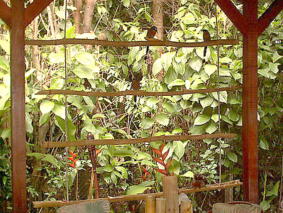 """Isn't that Bamboo Bird Feeder BB made COOL?!?!?!?!!  I've counted at least 20 different birds - even 2+ BEAUTIFUL BoBo's/MotMot birds (THE #1 reason I had the feeder made!!) and our friendly squirrel """"Spaz"""" & 4-5 other friends of his!!     How many BoBo's can you see here (hint - 2), Other birds (1), Squirrels (1).  All birds, etc. roam FREE at the House of CONNECTIONS Guesthouse (that has to do with my issue of not wanting anyone to """"capture"""" me)!!"""