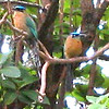 Close up BoBo's / MotMot's in a tree (waiting to be fed!  You don't need to cage an animal to get it to want to visit you!!!)