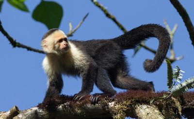 Capuchin monkey at Pino Colina