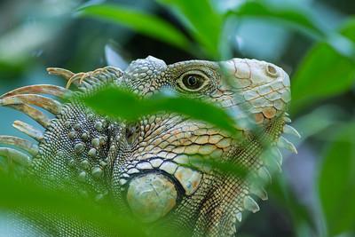Iguana at InBio