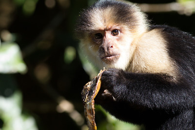 Capuchin monkey at Pino Colina