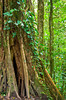 Large trees in the cloud forest preserve in Monteverde, Costa Rica, Central America.